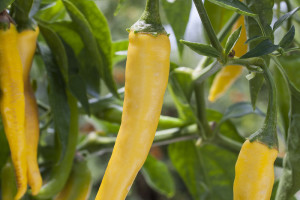 Courtesy Bonnie Plants Golden cayenne peppers.