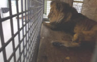 Daniel the lion gets new life at In-Sync Exotics